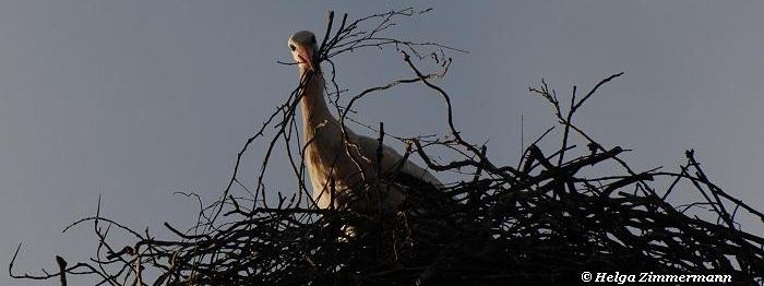 wie und wo baut der storch sein nest mehr auf storchenelke 39 s webseite. Black Bedroom Furniture Sets. Home Design Ideas